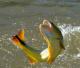 El 30 de abril finalizó la autorización del uso de una segunda caña durante la temporada del dorado